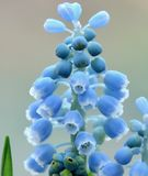 Grape Hyacinth Royalty Free Stock Photography