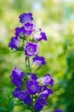 Blue bell-shaped flower spike Stock Photos