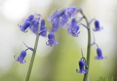 Blue bell wildflower with soft focus and nice bokeh. Bluebells are early wild spring flowers blooming in beech forests stock photo