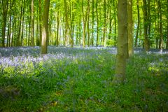 Blue bell wood in the springtime Stock Image