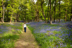 Blue bell woodland. Young woman walking through a spring forest Royalty Free Stock Images