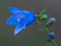 Blue bellflower closeup. On blurred background royalty free stock photography