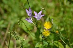 Blue bellflower Stock Images