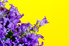 Blue bellflowers Stock Photography