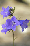 Blue bellflowers Stock Images