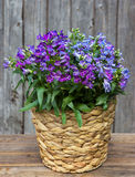 Blue Bellflowers in a Basket. Blue Campanula or also known as Bellflowers in a Basket in front on a wooden Background Stock Photography
