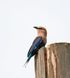 Blue-bellied Roller 1 Stock Image