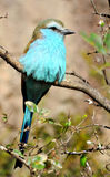 Blue-bellied Roller Royalty Free Stock Photo