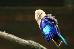 Blue bellied roller Stock Photography