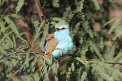 Blue-bellied Roller Royalty Free Stock Photography