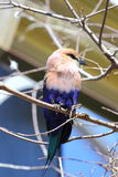 Blue Bellied Roller Stock Images