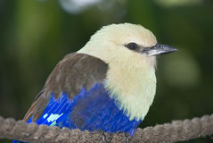 Blue Bellied Roller Royalty Free Stock Images