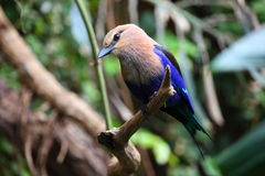 Blue Bellied Roller Stock Image
