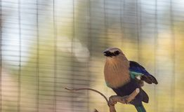 Blue-bellied roller called Coracias cyanogaster Stock Photo