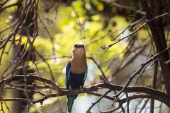Blue-bellied roller called Coracias cyanogaster Royalty Free Stock Images