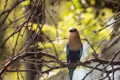 Blue-bellied roller called Coracias cyanogaster. Is found in Senegal to Zaire and Sudan Stock Photography