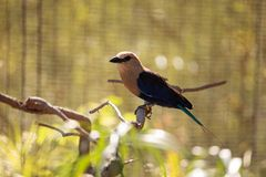 Blue-bellied roller called Coracias cyanogaster Stock Photography