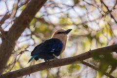 Blue-bellied roller called Coracias cyanogaster Stock Image