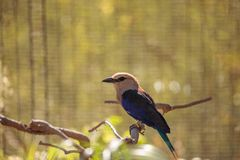 Blue-bellied roller called Coracias cyanogaster Royalty Free Stock Image