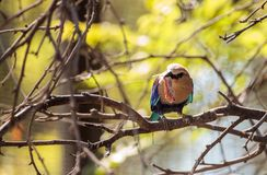 Blue-bellied roller called Coracias cyanogaster Stock Photos