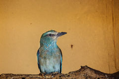 Blue-bellied Roller Stock Images