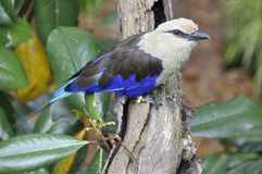 Blue-bellied Roller (Coracias cyanogaster) Stock Images