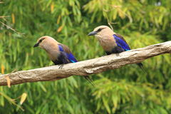 Blue-bellied roller Stock Photo