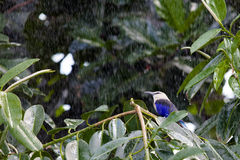 Blue Bellied Roller in the rain Royalty Free Stock Images