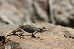 Blue Bellied Western Fence Lizard. A blue belly western fence lizard sitting on a rock in the sun Royalty Free Stock Image