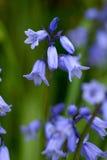 Blue bells Royalty Free Stock Image
