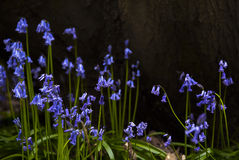 Blue Bells Royalty Free Stock Images