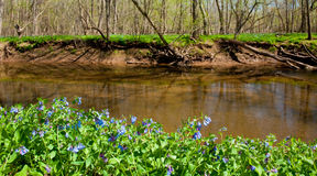 Blue bells along bank of river Royalty Free Stock Photography