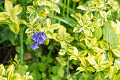 Blue bells center focus blur background beauty in Nature Stock Photo