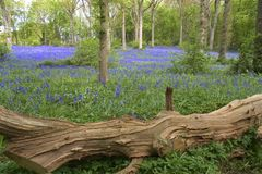 Blue bells in England. Blue bell wood Royalty Free Stock Photo