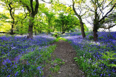 Blue bells forest Stock Photos