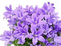 Blue bells - Platycodon grandiflorum Royalty Free Stock Photo