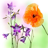 Blue bells and poppy Stock Photography