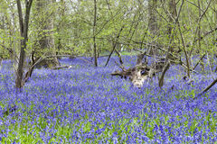 Blue bells under the trees in spring forest Stock Photos