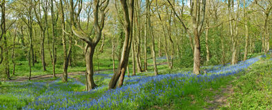Blue Bells in the Wood Stock Image