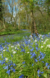 Blue Bells on A Woodland Backdrop Royalty Free Stock Photography