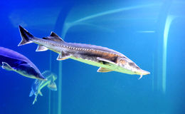 Blue beluga sturgeon Stock Photo