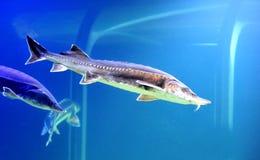 Blue beluga sturgeon Stock Photo