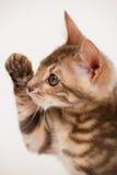 Blue Bengal Kitten Royalty Free Stock Image