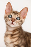 Blue Bengal Kitten Stock Image