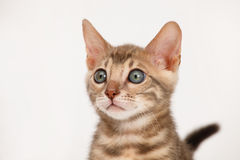 Blue Bengal Kitten Royalty Free Stock Photos