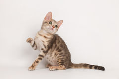 Blue Bengal Kitten Stock Photos