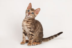 Blue Bengal Kitten Royalty Free Stock Image