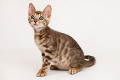 Blue Bengal Kitten Stock Photo
