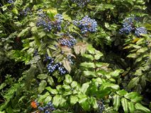 Blue berries green leaves branch plant garden stock photo