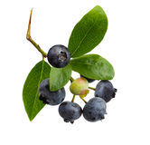 Blue Berries Stock Image